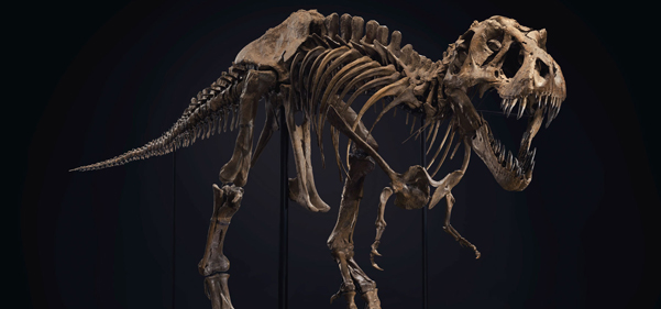 'Stan' the T. rex