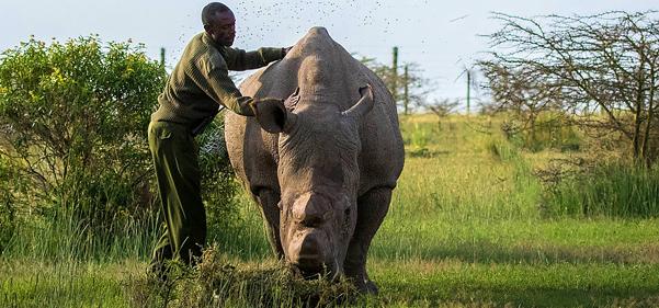 World's loneliest rhino dies